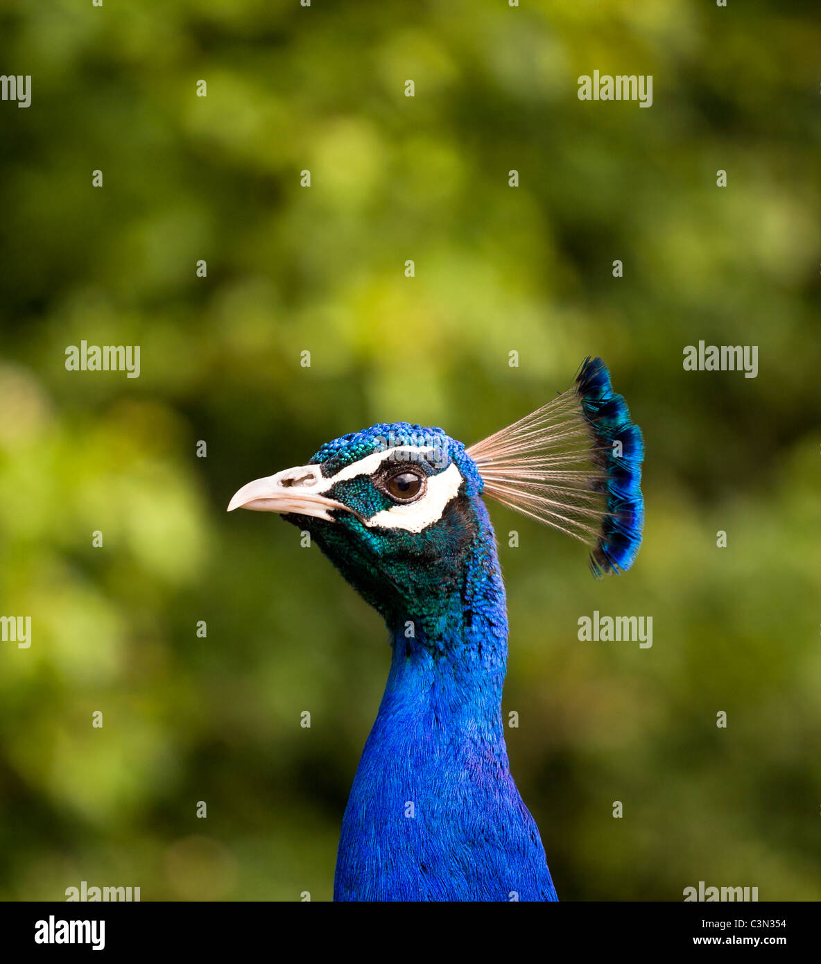 Profile view of a Peacock focusing on the bird with a blurred out background Stock Photo