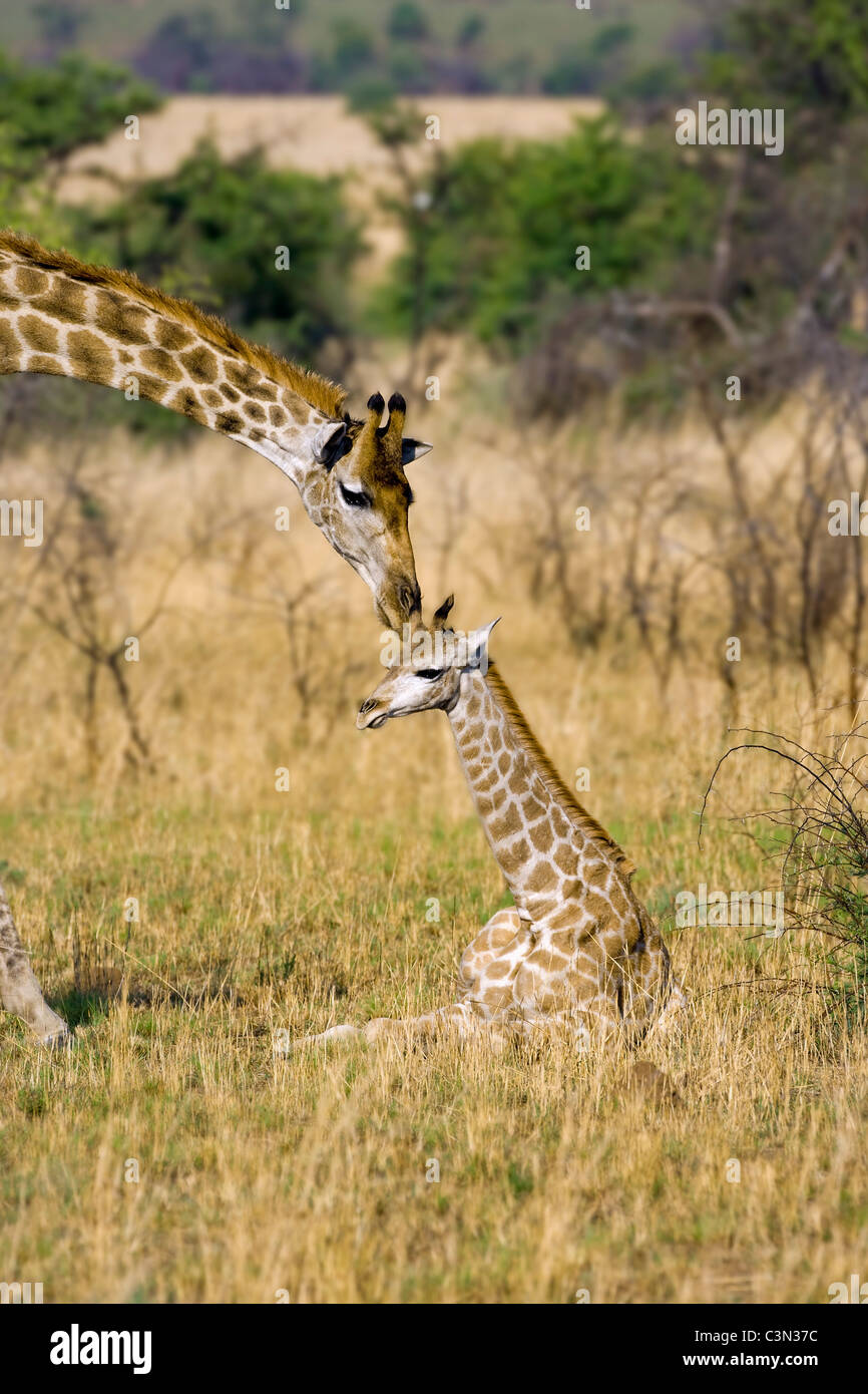 South Africa, near Rustenburg, Pilanesberg National Park. Giraffes, Giraffa camelopardalis. Mother and young. - Stock Image