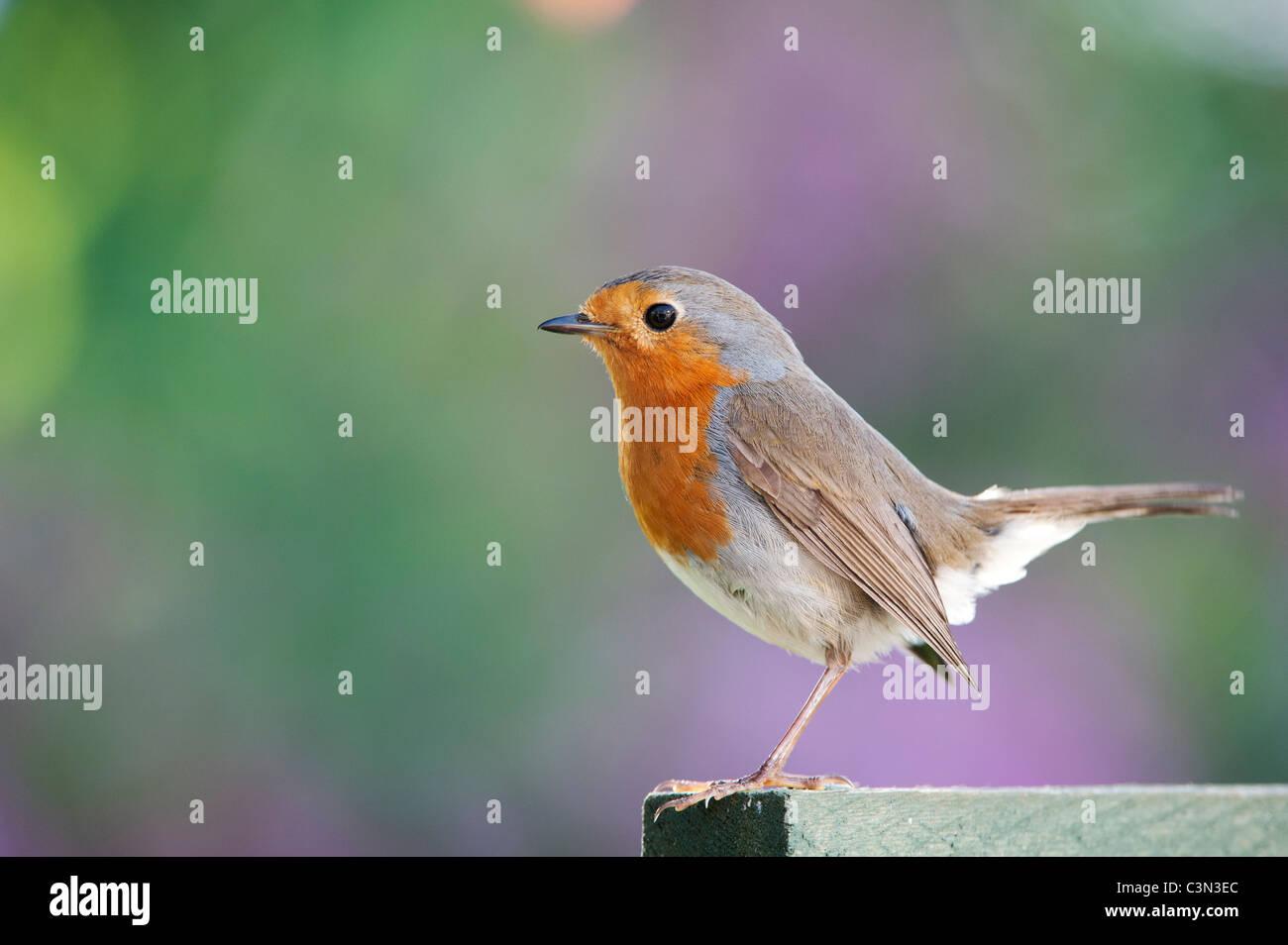 Robin on a garden trellis - Stock Image