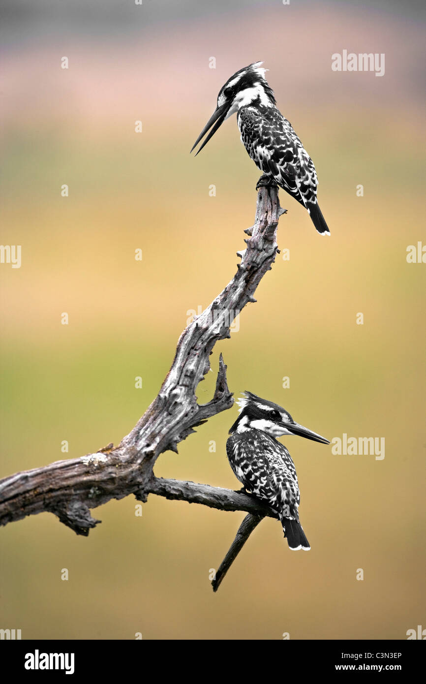 South Africa, near Rustenburg, Pilanesberg National Park. Mankwe Hide. Two Pied Kingfishers, Ceryle rudis, perched Stock Photo
