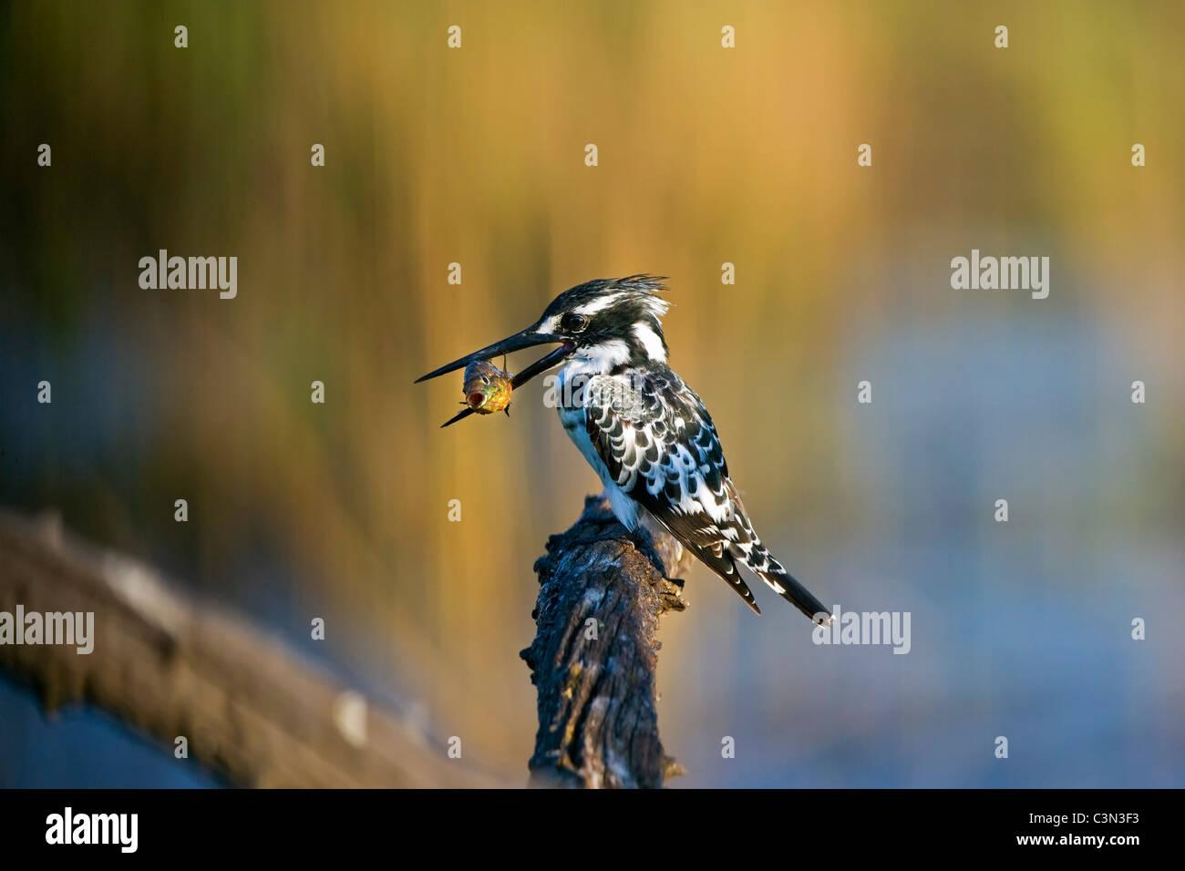 South Africa, near Rustenburg, Pilanesberg National Park. Mankwe Hide. Two Pied Kingfishers, Ceryle rudis, perched - Stock Image