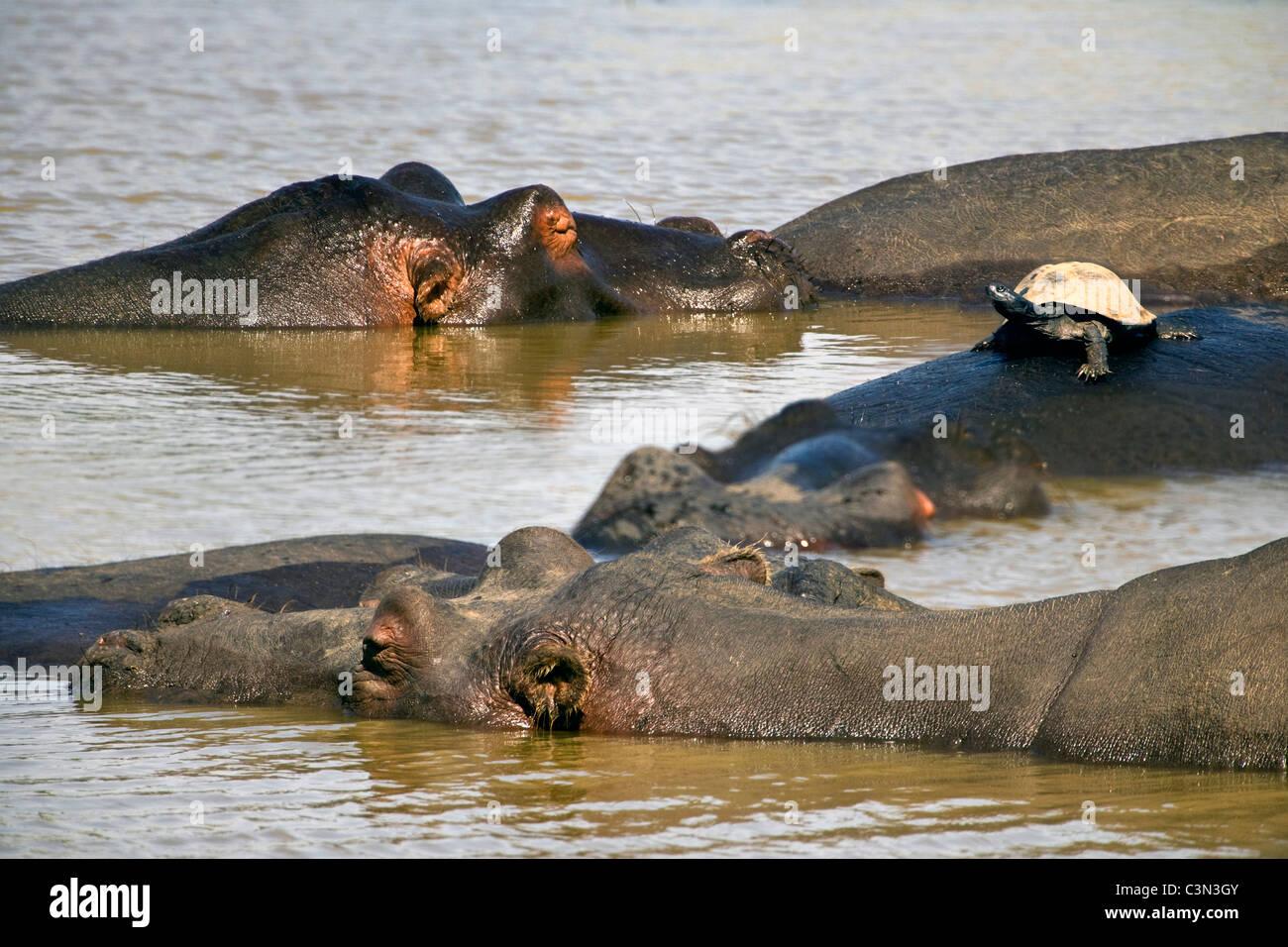 South Africa, near Rustenburg, Pilanesberg National Park. Hippos, Hippopotamus, Hippopotamus amphibius. Turtle on - Stock Image