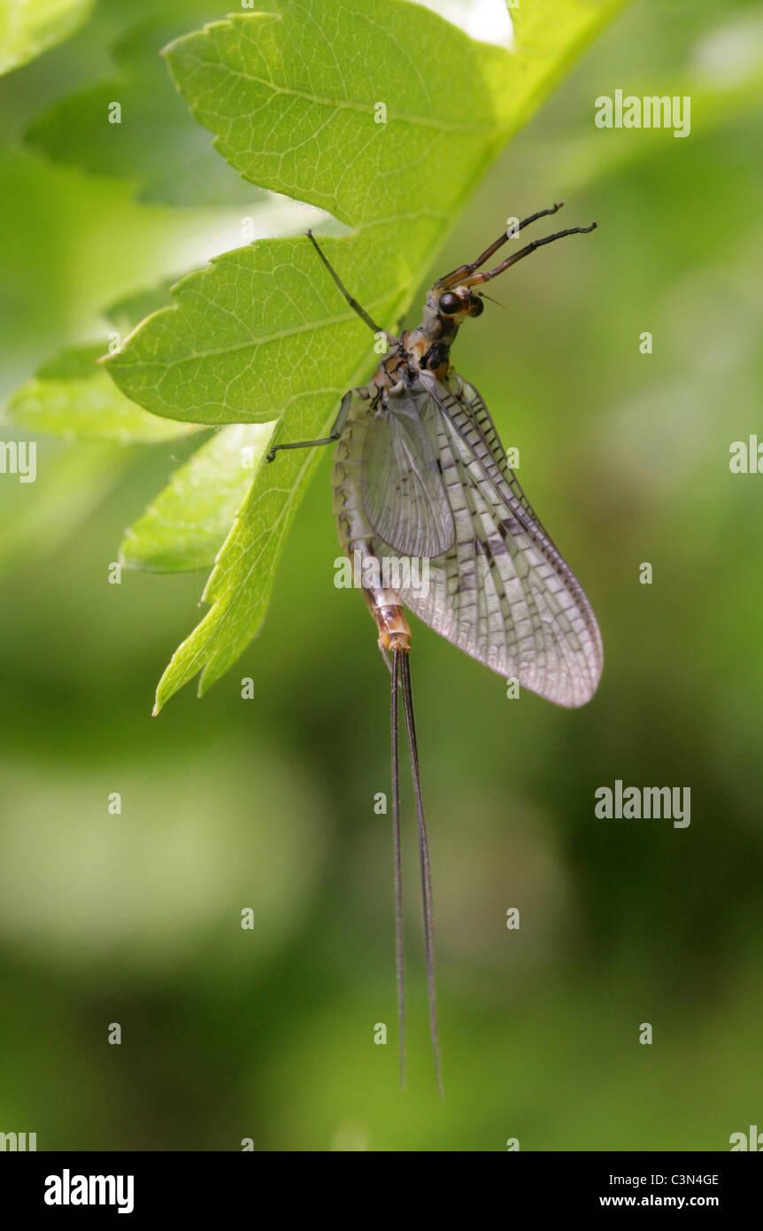 Mayfly, Ephemera danica, Ephemeridae, Ephemeroptera - Stock Image