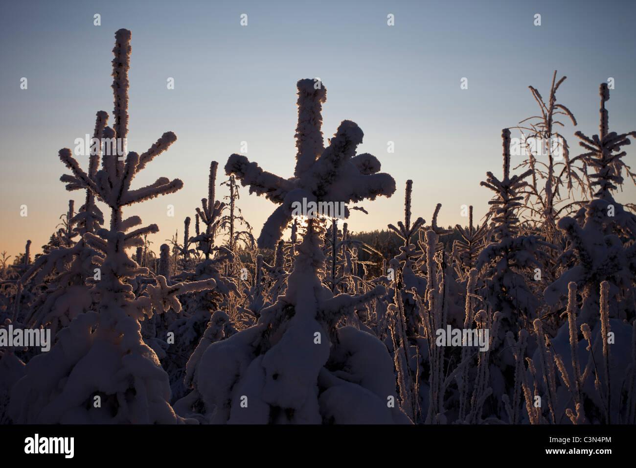 Snow covered pine ( pinus sylvestris ) tree saplings at Winter - Stock Image