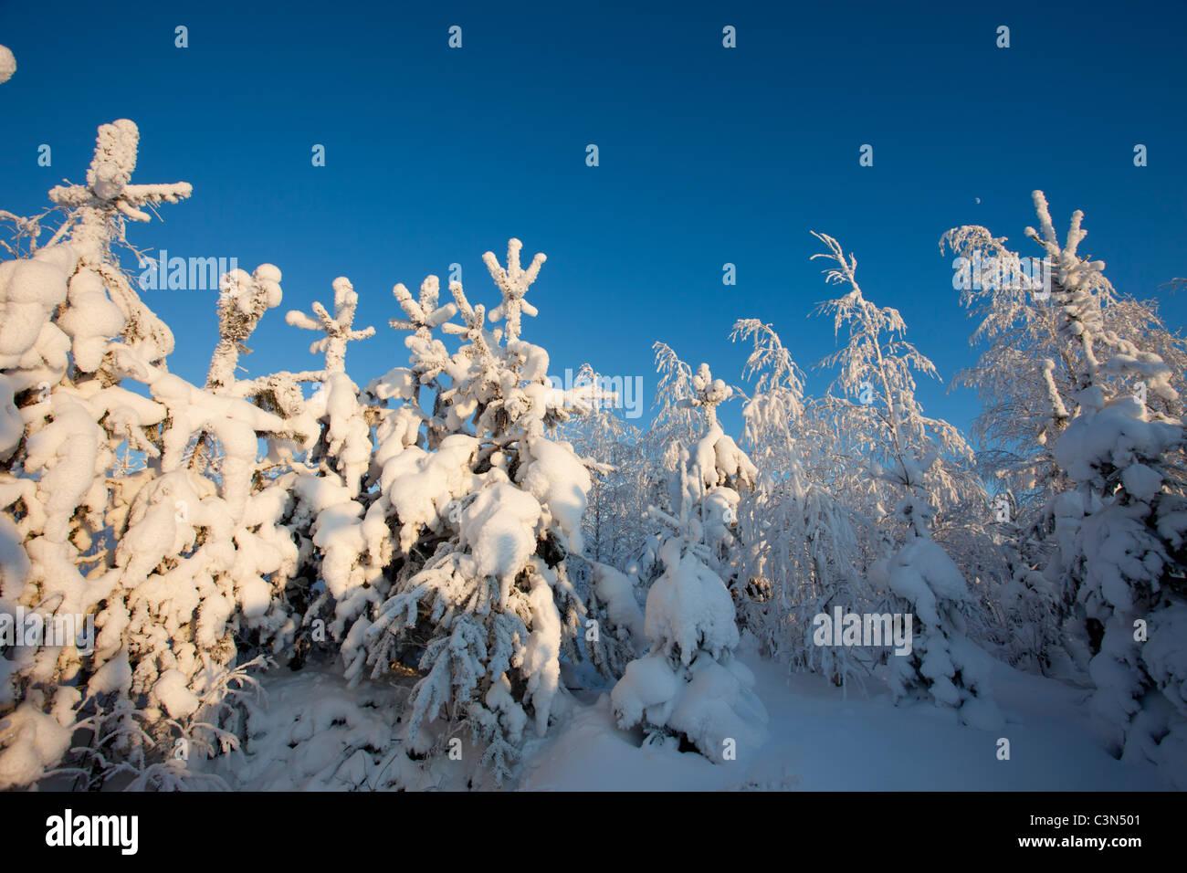 Snow covered pine ( pinus sylvestris ) tree saplings at Winter , Finland - Stock Image