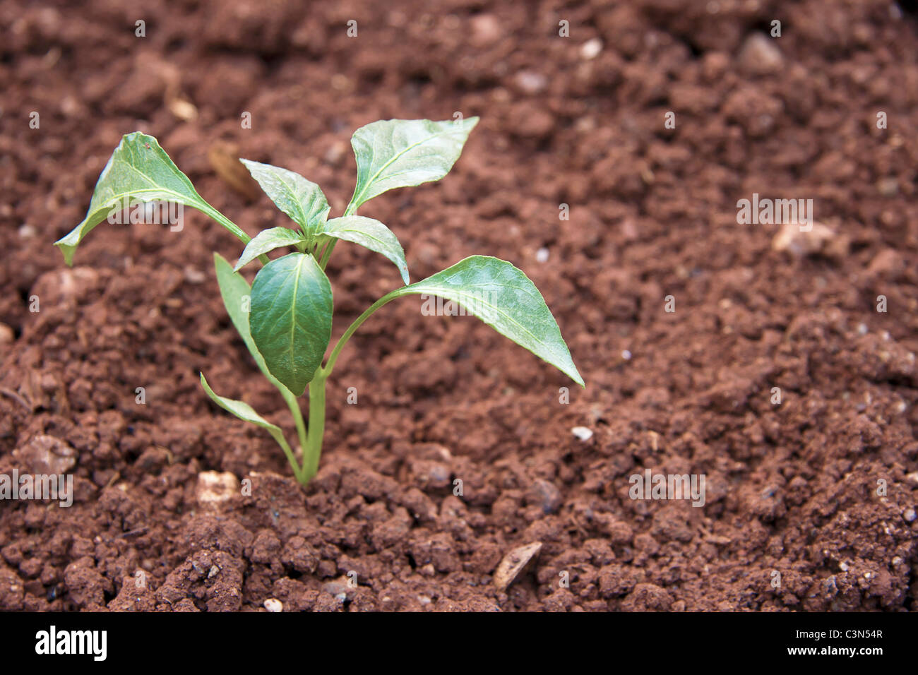Young vegetable plant is growing on it's natural environment Stock Photo