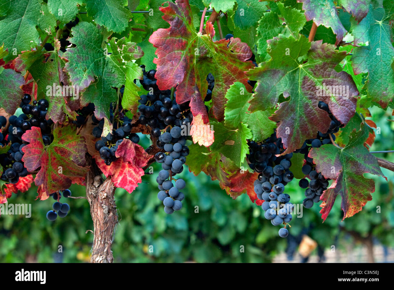 South Africa, Western Cape, near Stellenbosch, mature grapes. - Stock Image