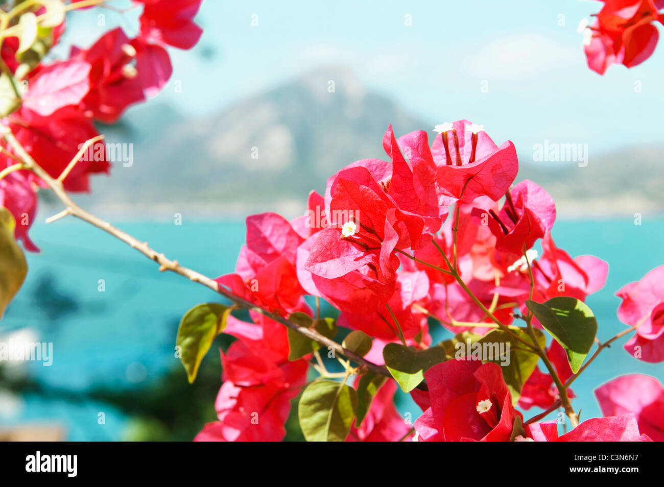 Bougainvillea flowering with sea behind - Stock Image