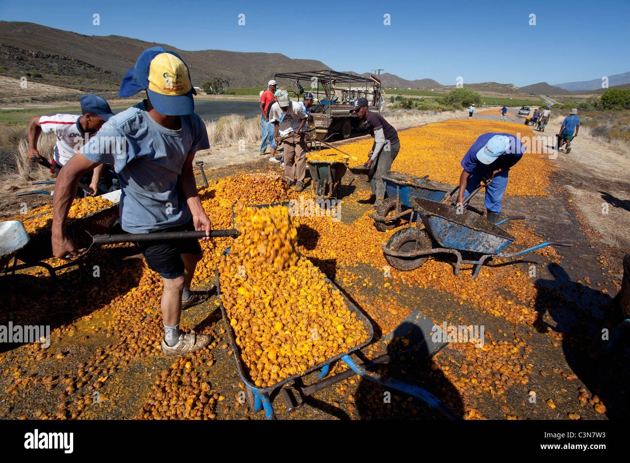 South Africa, Western Cape, near Barrydale, Collecting the nuts of dried apricots. - Stock Image
