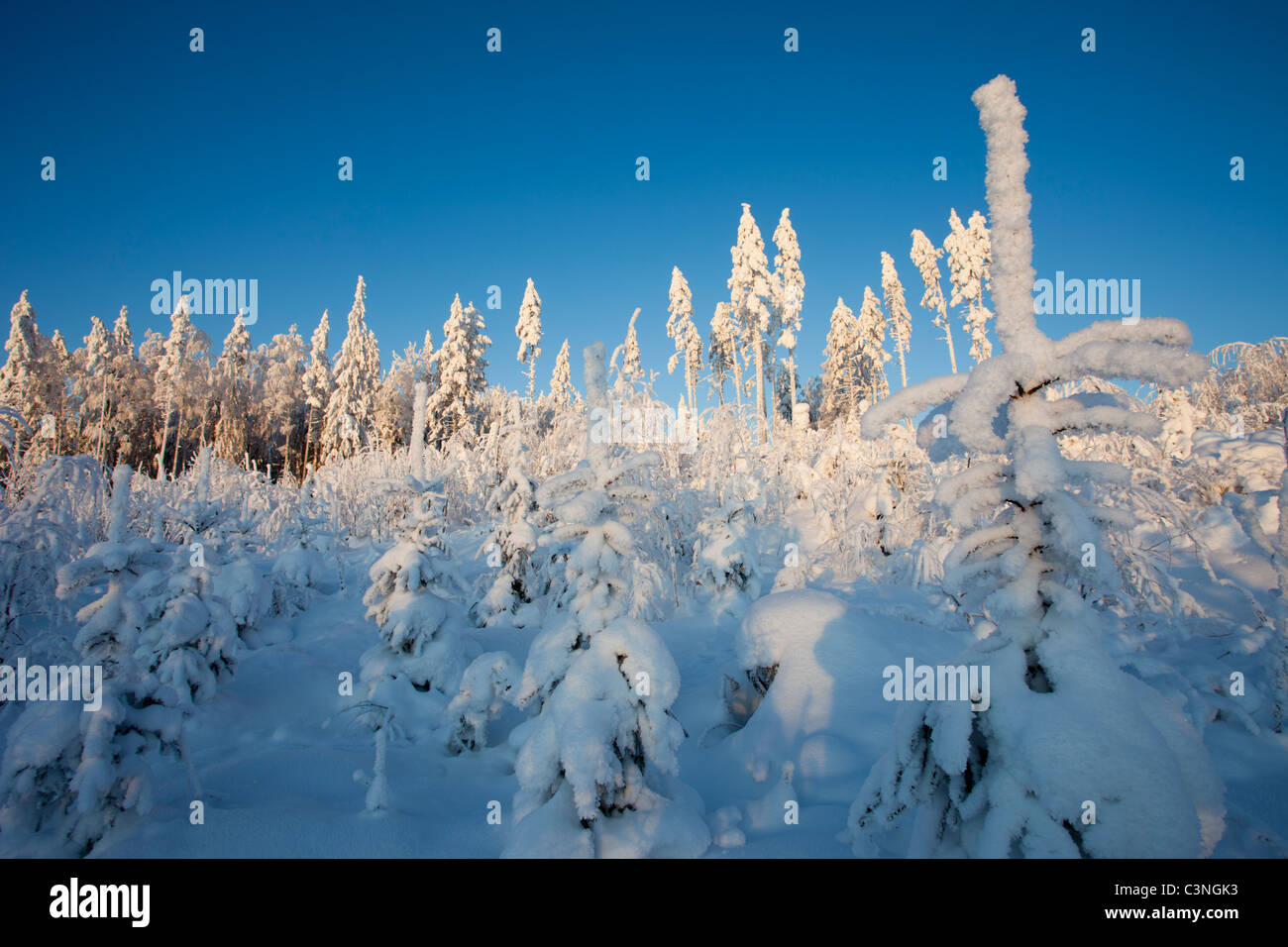 Planted pine saplings growing in an old clear cutting area , Finland - Stock Image