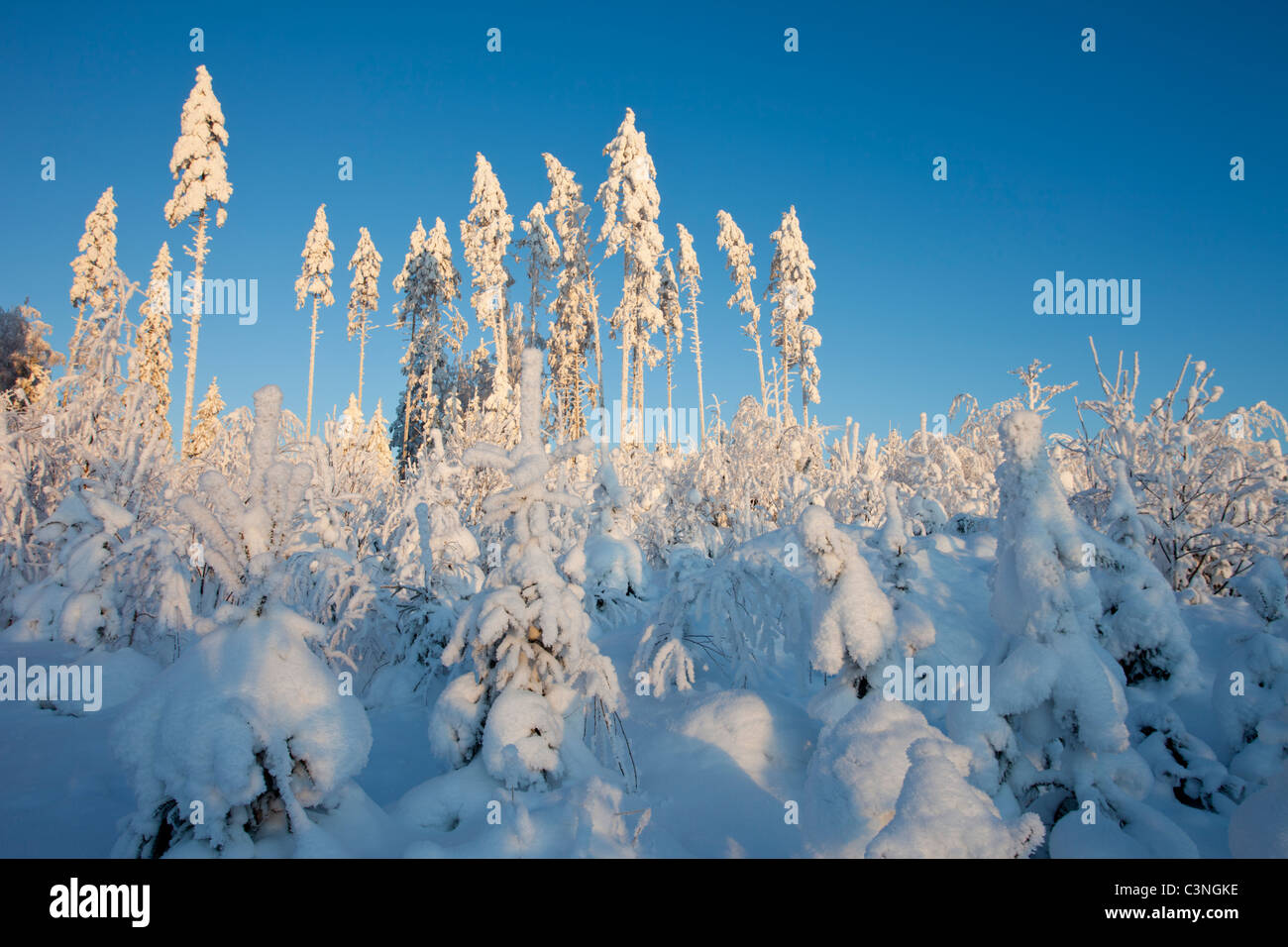 Planted pine saplings growing at an old clear cutting area , Finland - Stock Image
