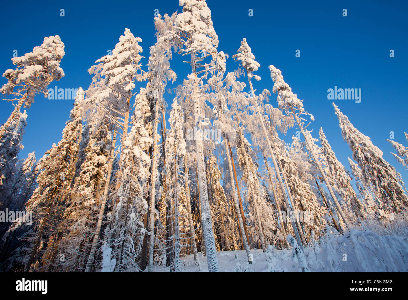 Snow covered pine ( pinus sylvestris ) treetops at winter , Finland - Stock Image