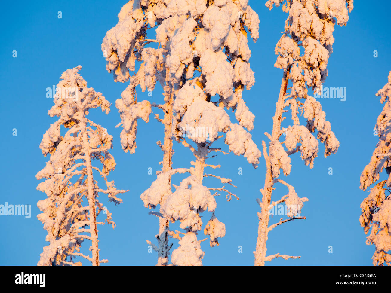 Snow covered pine ( pinus sylvestris ) treetops at winter - Stock Image