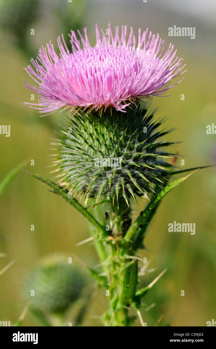 Macro spear thistle (Cirsium vulgare), also called bull thistle,plumed thistle,scotch thistle,roadside thistle - Stock Image