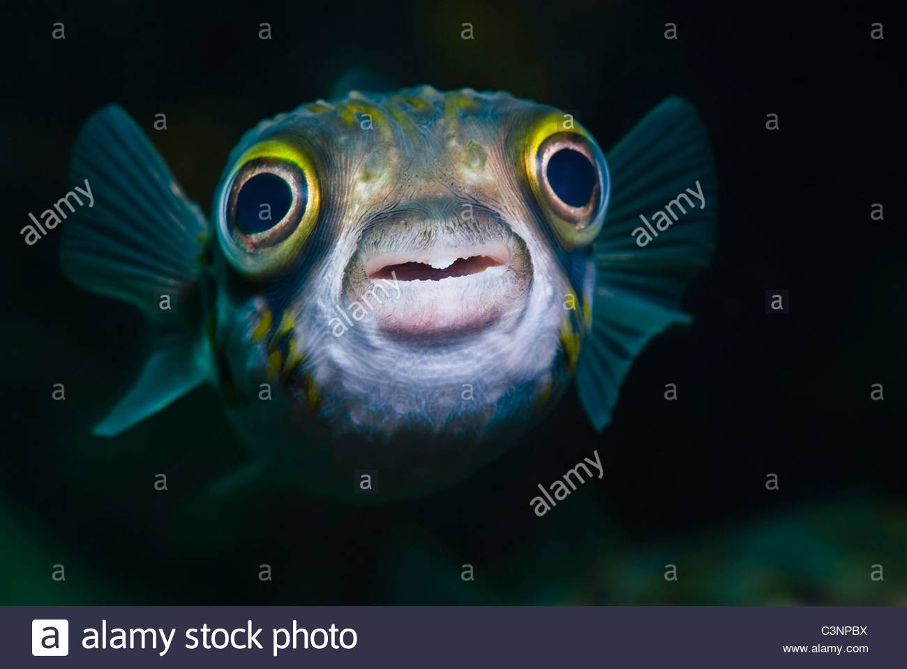 Close-up of Pufferfish - Stock Image