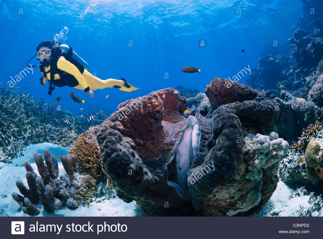 Giant clam Tridacna Gigas on The Great Barrier Reef Australia Stock Photo