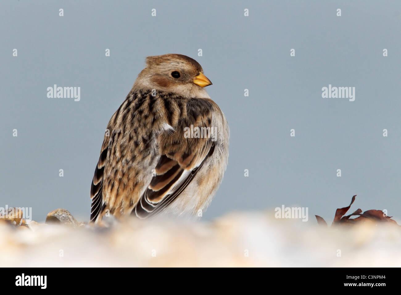 A winter plumage Snow Bunting stood on a shingle beach - Stock Image