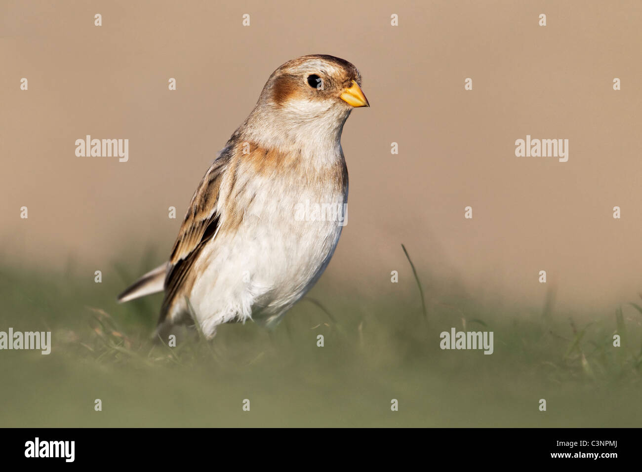 A winter plumage Snow Bunting stood in grass - Stock Image
