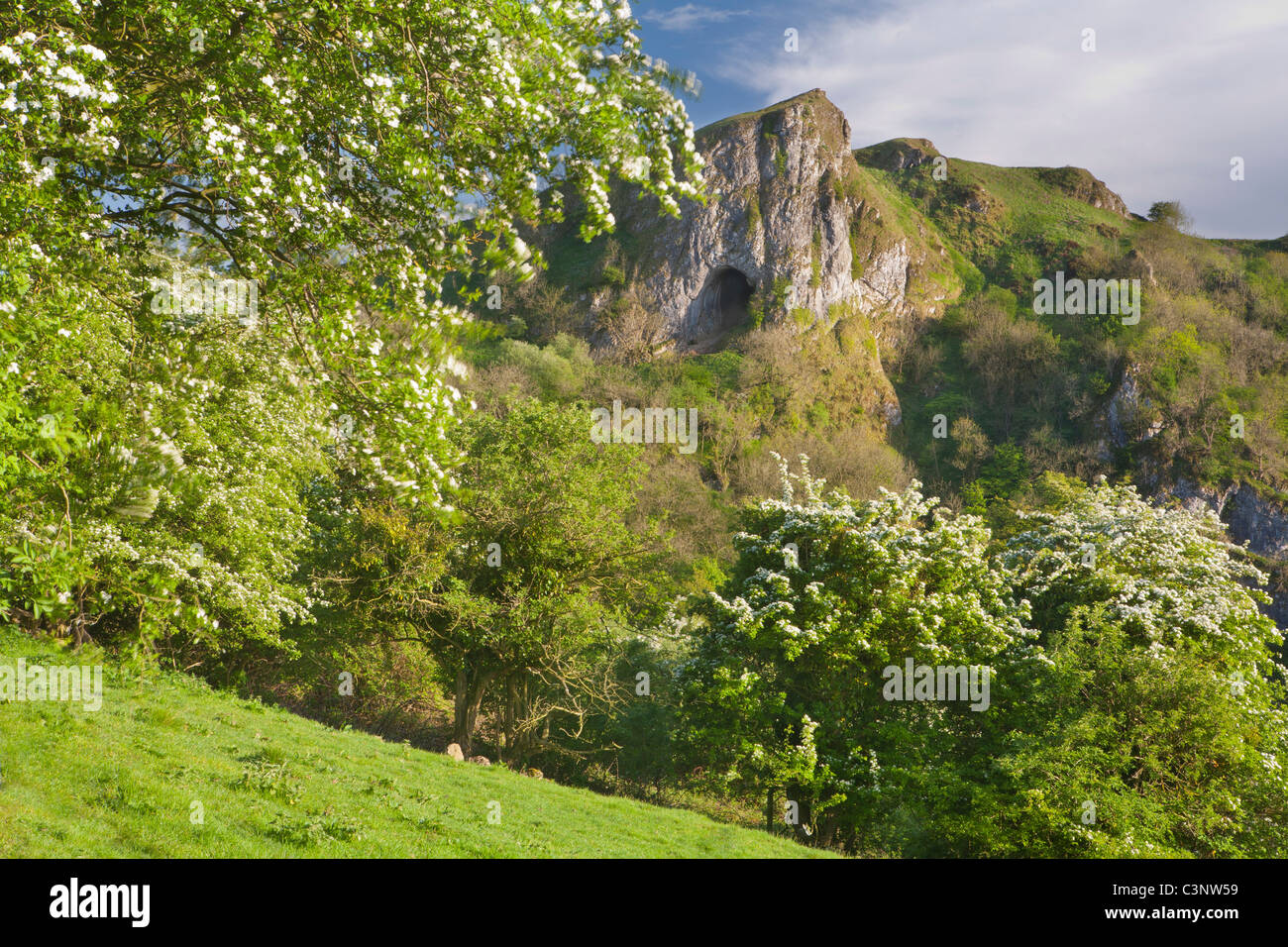 Thor's Cave with hawthorn trees in blossom, Manifold Valley, Staffordshire Moorlands, Peak District National Park, Stock Photo