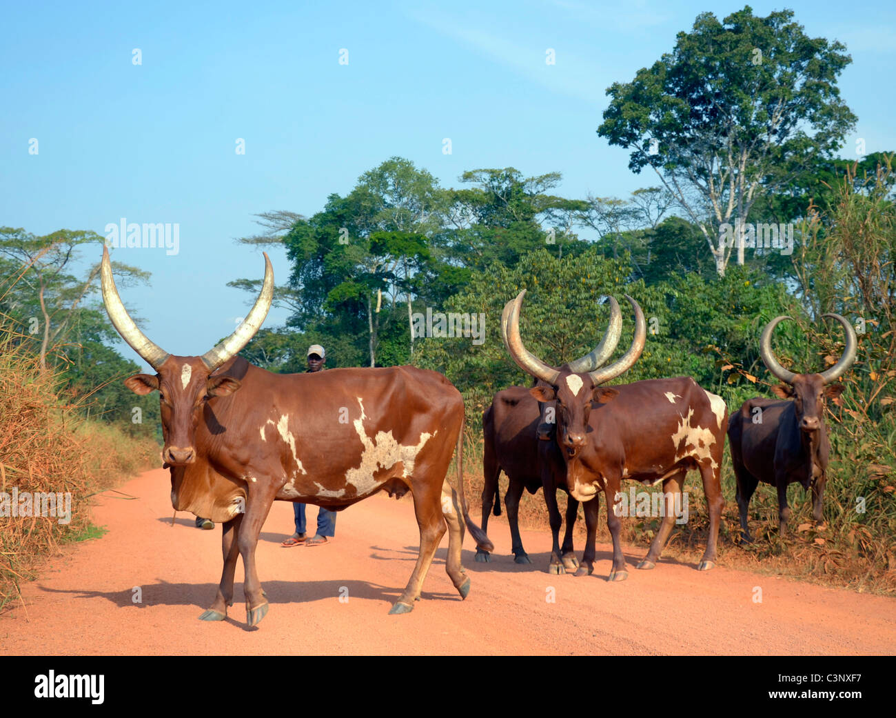 Okape Reserve near Epulu village in Ituri forest, Congo Basin, Democratic Republic of Congo. Traditional cattle - Stock Image
