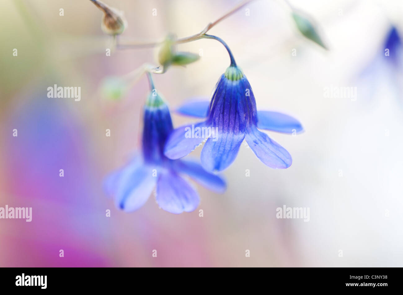 Conanthera Campanulata. Chilean wildflower - Stock Image