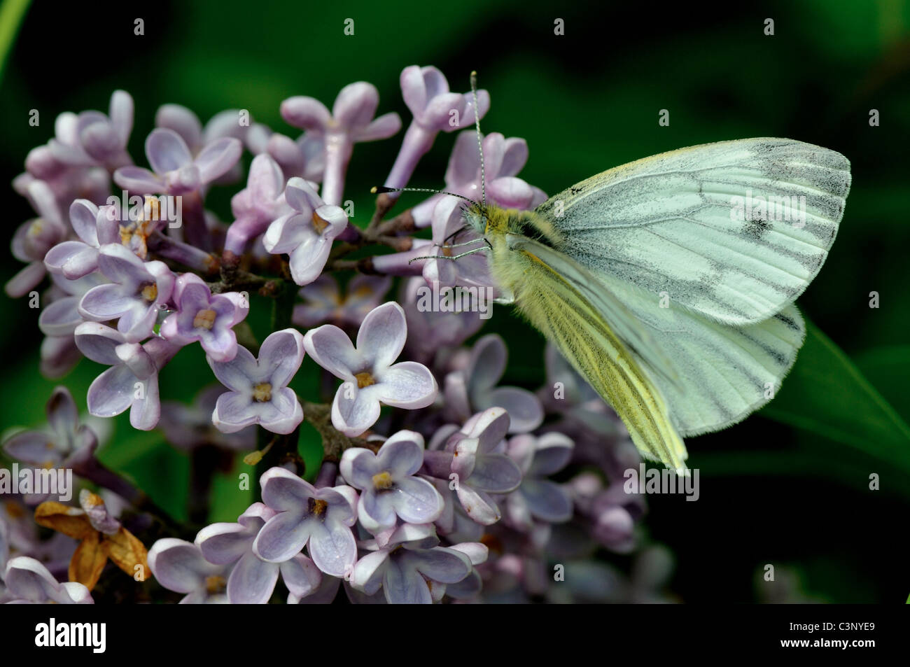 Cabbage white, butterfly feeding on flowers - Stock Image