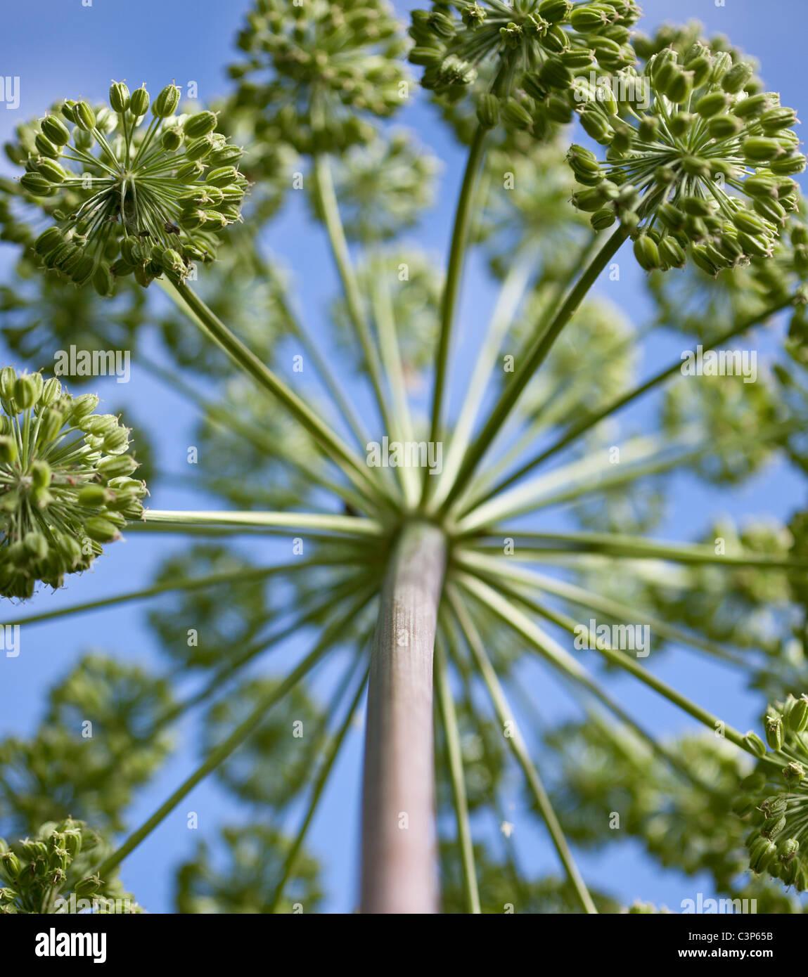 Angelica archangelica  Garden Angelica - Stock Image