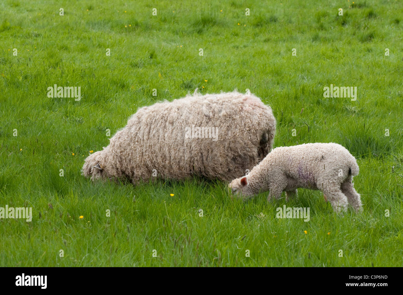 Heads down - Cotswold ( Lion ) ewe / sheep and lamb - grazing in long grass. Cotswolds, UK - Stock Image