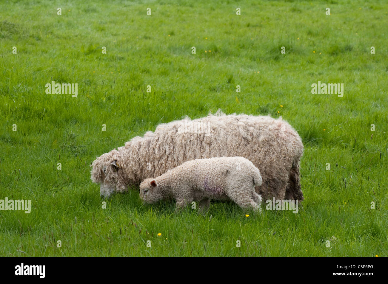 Cotswold ( Lion ) ewe / sheep and lamb - grazing in long grass. Cotswolds, UK - Stock Image