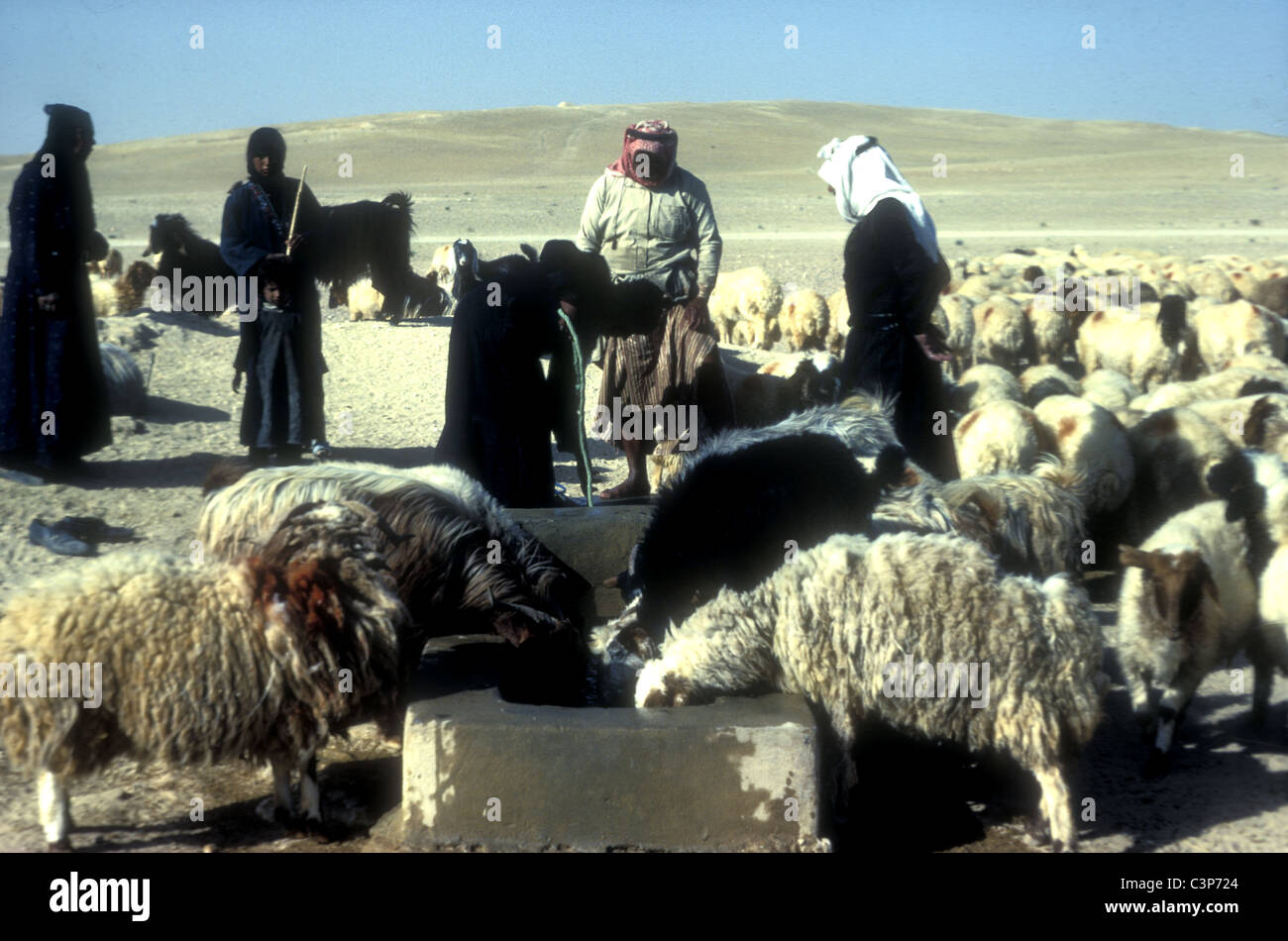 Bedouin Water Sheep At A Desert Well In Syria Stock Photo Alamy The breed is raised primarily for meat. https www alamy com stock photo bedouin water sheep at a desert well in syria 36753196 html