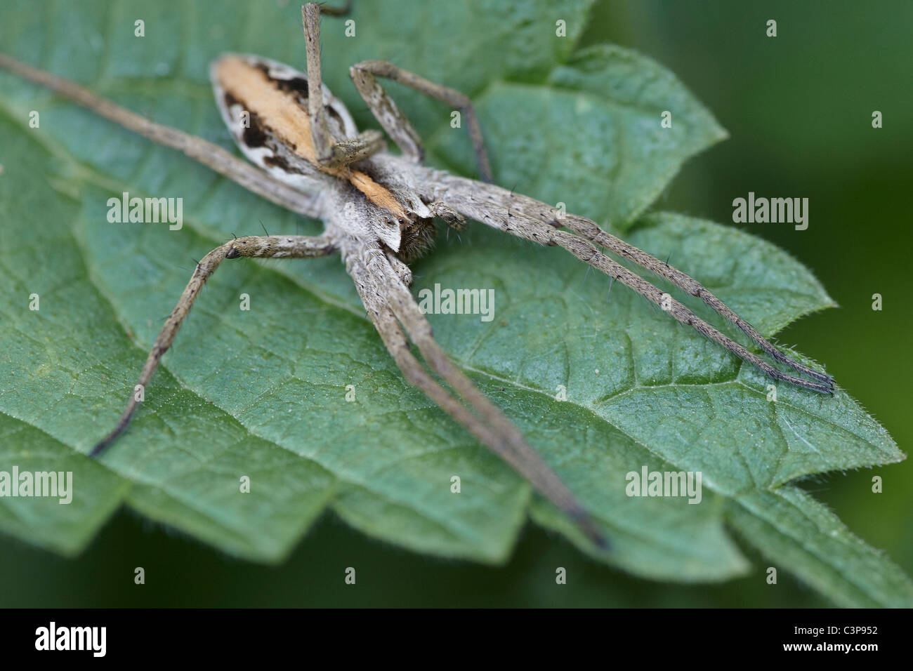 Nursery web spider, Pisaura mirabilis Askham bog nature reserve, York, UK - Stock Image