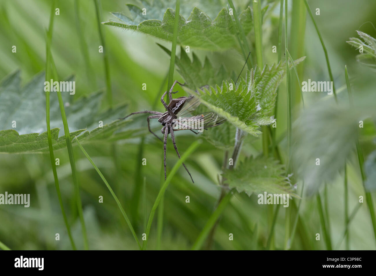 Nursery web spider, Pisaura mirabilis with prey Askham bog nature reserve, York, UK - Stock Image