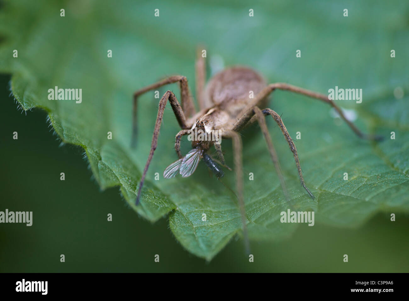 Nursery web spider, Pisaura mirabilis with prey, Askham bog nature reserve, York, UK - Stock Image