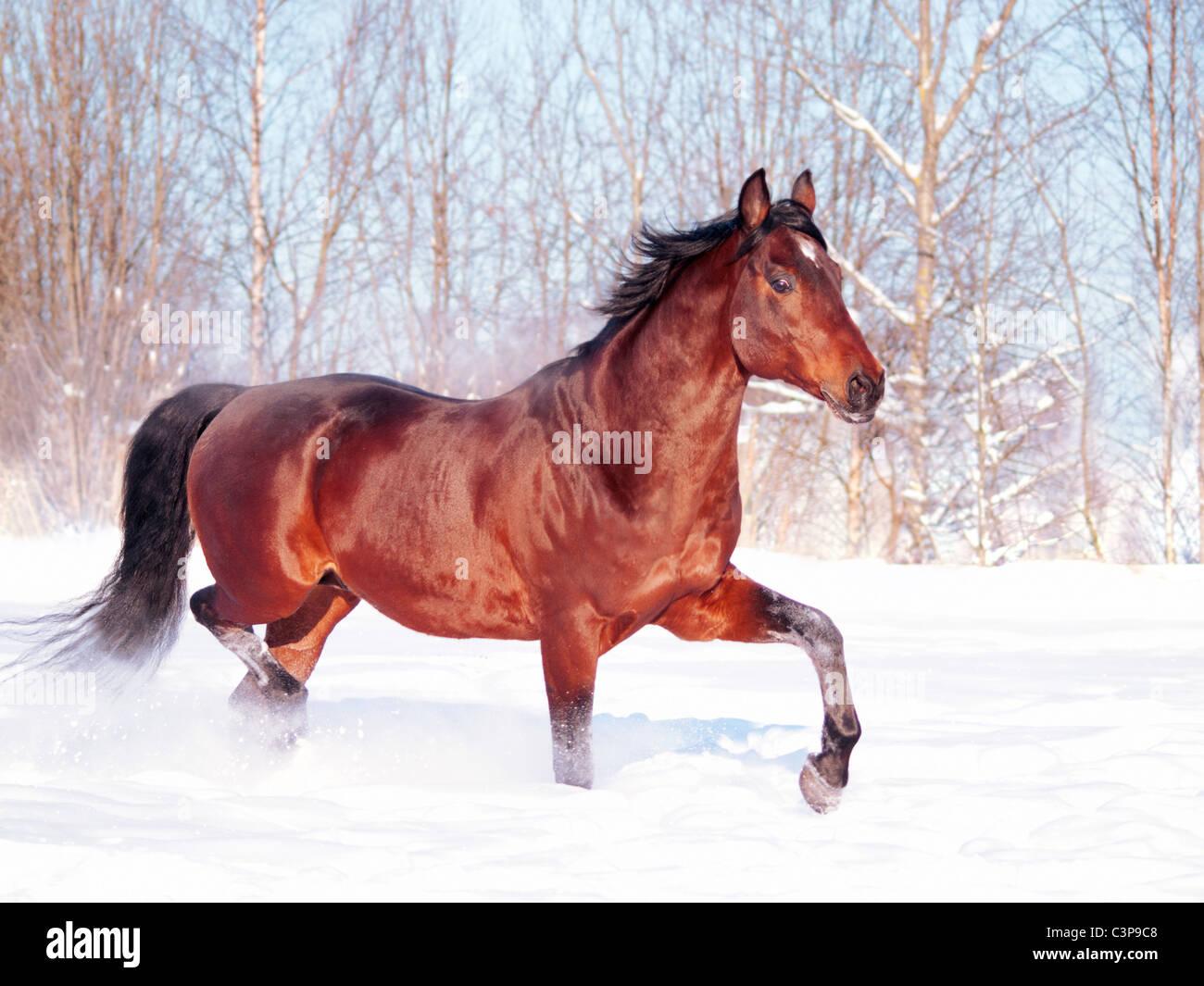 running bay horse at snow field - Stock Image