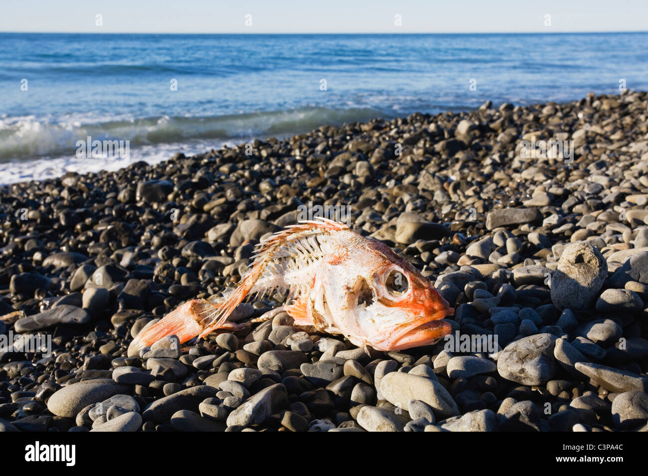 New Zealand, Dead fish on the beach - Stock Image