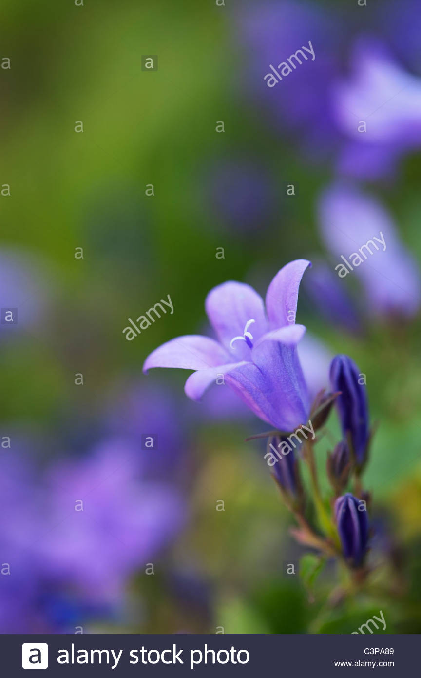 Bell Shaped Violet Blue Flowers Stock Photos Bell Shaped Violet