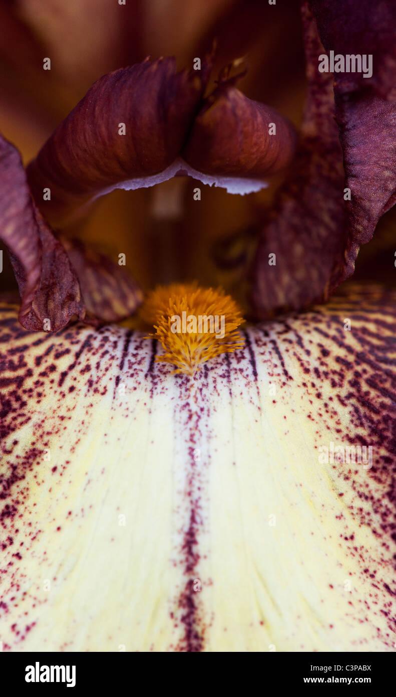 Tall Bearded Iris 'Provencal' flower - Stock Image