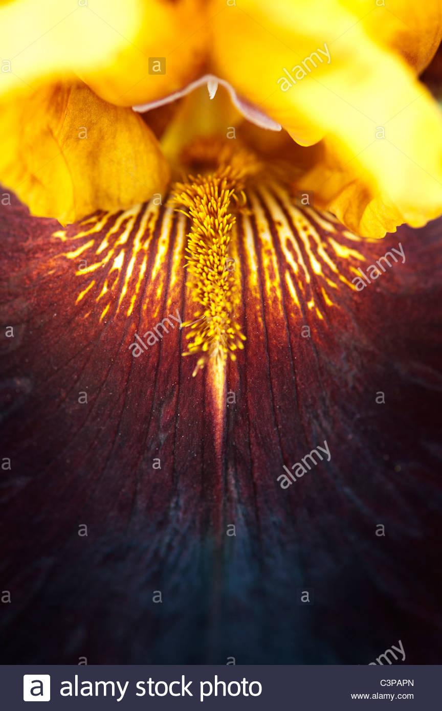 Bearded Iris 'Supreme Sultan' flower - Stock Image