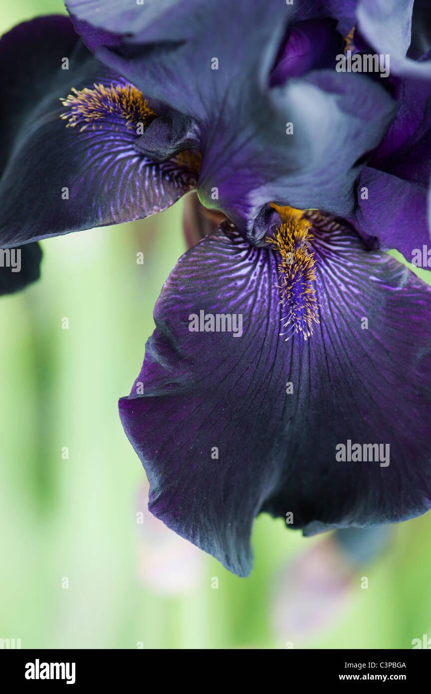 Tall Bearded Iris 'Interpol' flower - Stock Image