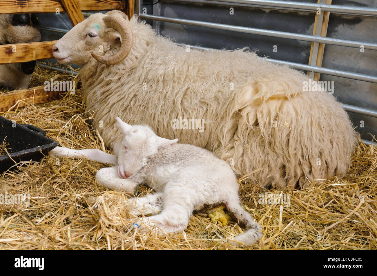 Ewe with newborn lamb - Stock Image