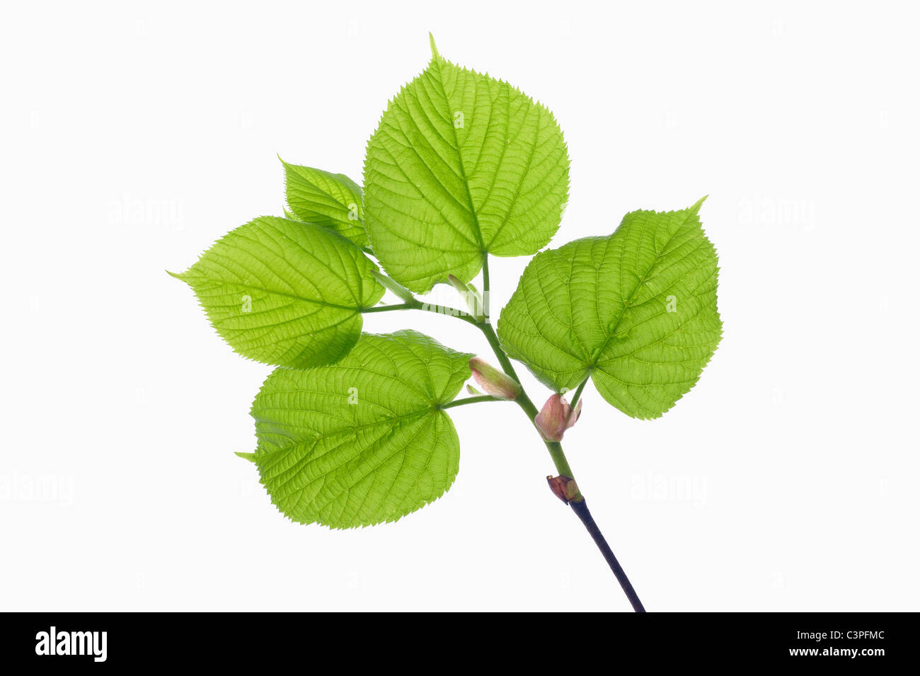Lime leaf (Tilia spec.), close-up - Stock Image
