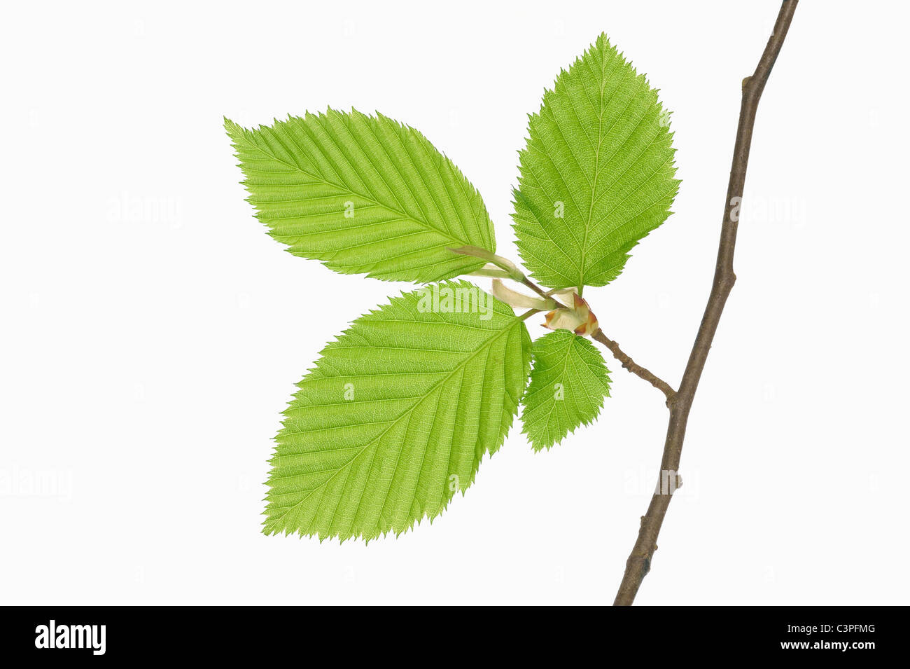 Hornbeam leaves (Carpinus betulus), close-up - Stock Image