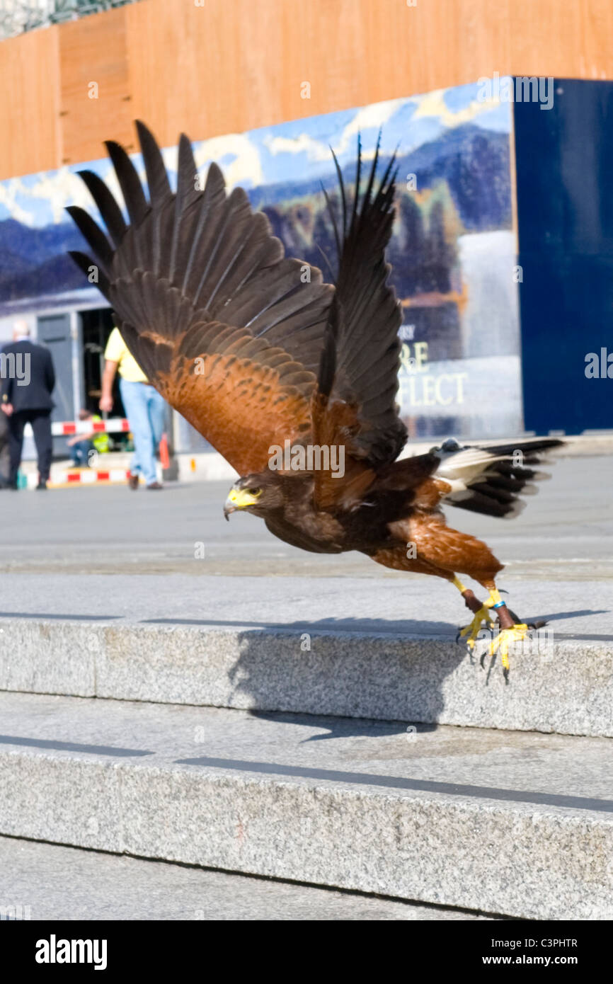 Pigeons And Hawk Stock Photos Amp Pigeons And Hawk Stock