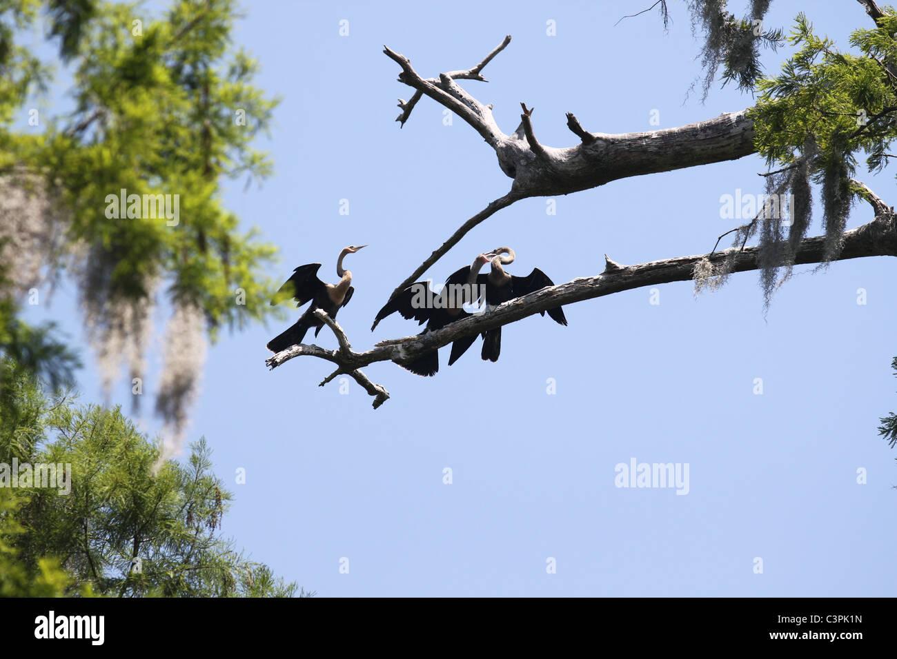 Three Anhinga birds on the limb of a tree - Stock Image