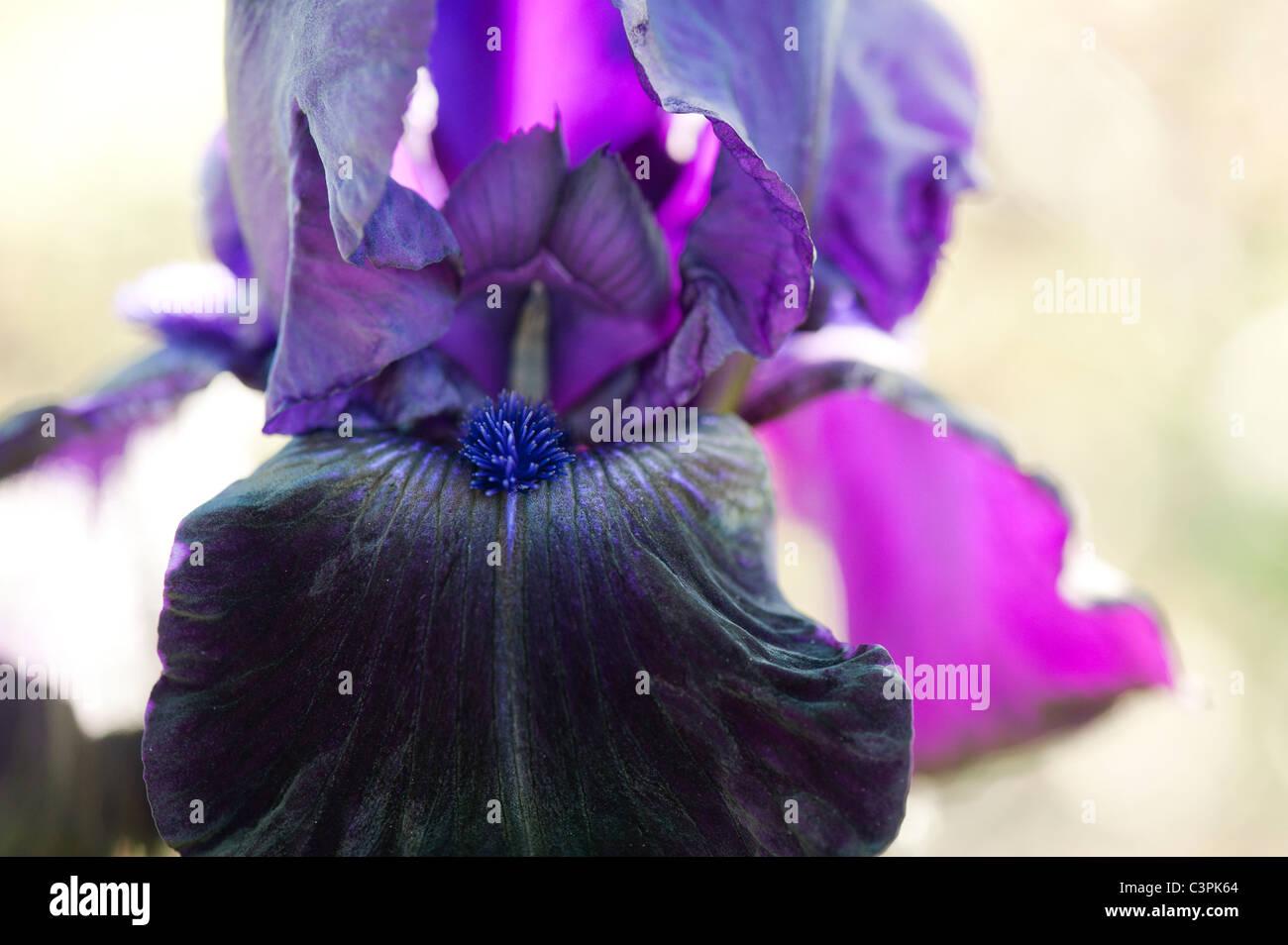 Tall Bearded Iris 'Licorice stick' flower - Stock Image