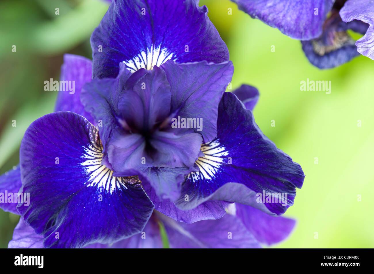 Iris sibirica, 'Shirley Pope'.  Siberian iris - Stock Image