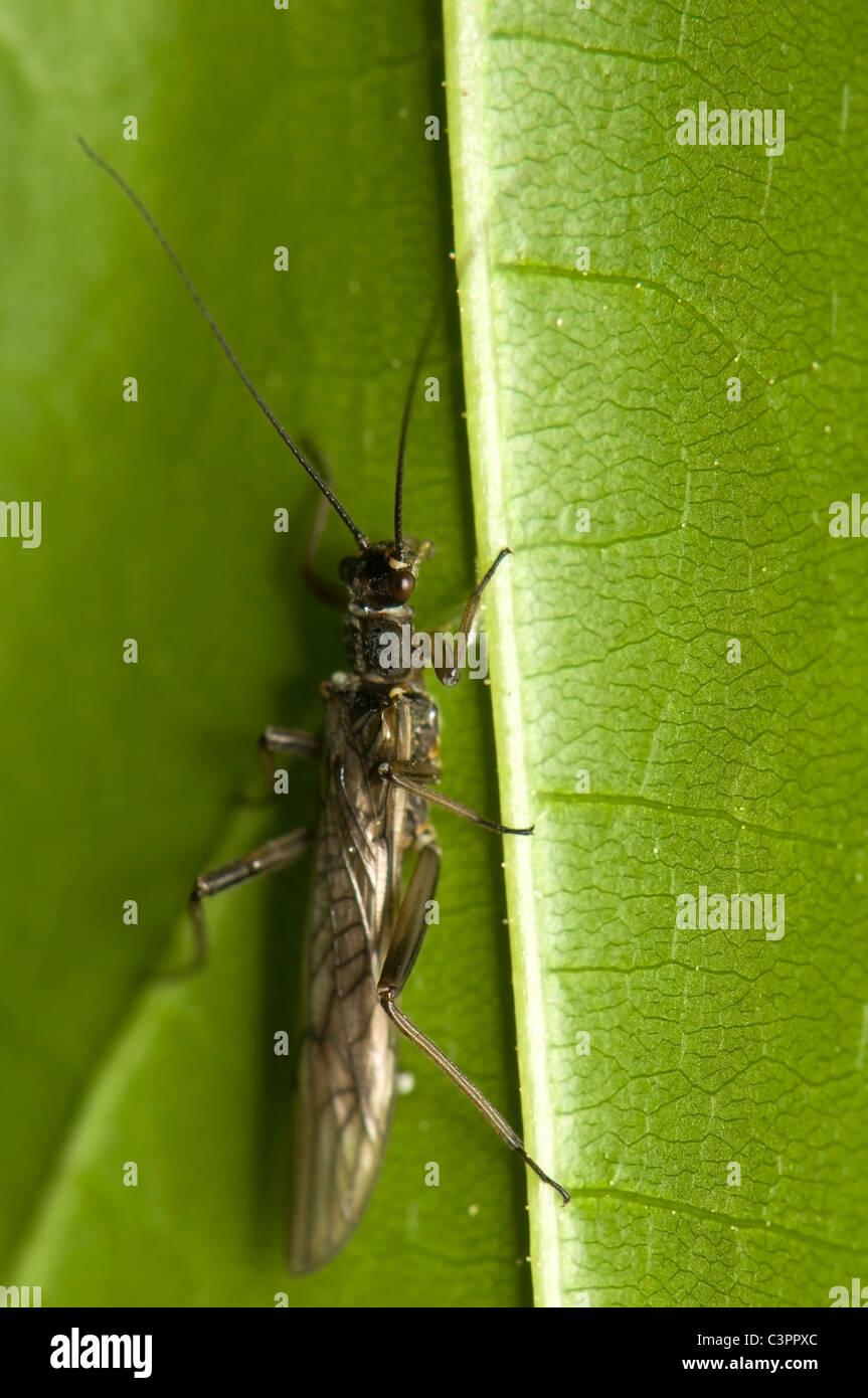 Plecoptera - Stock Image