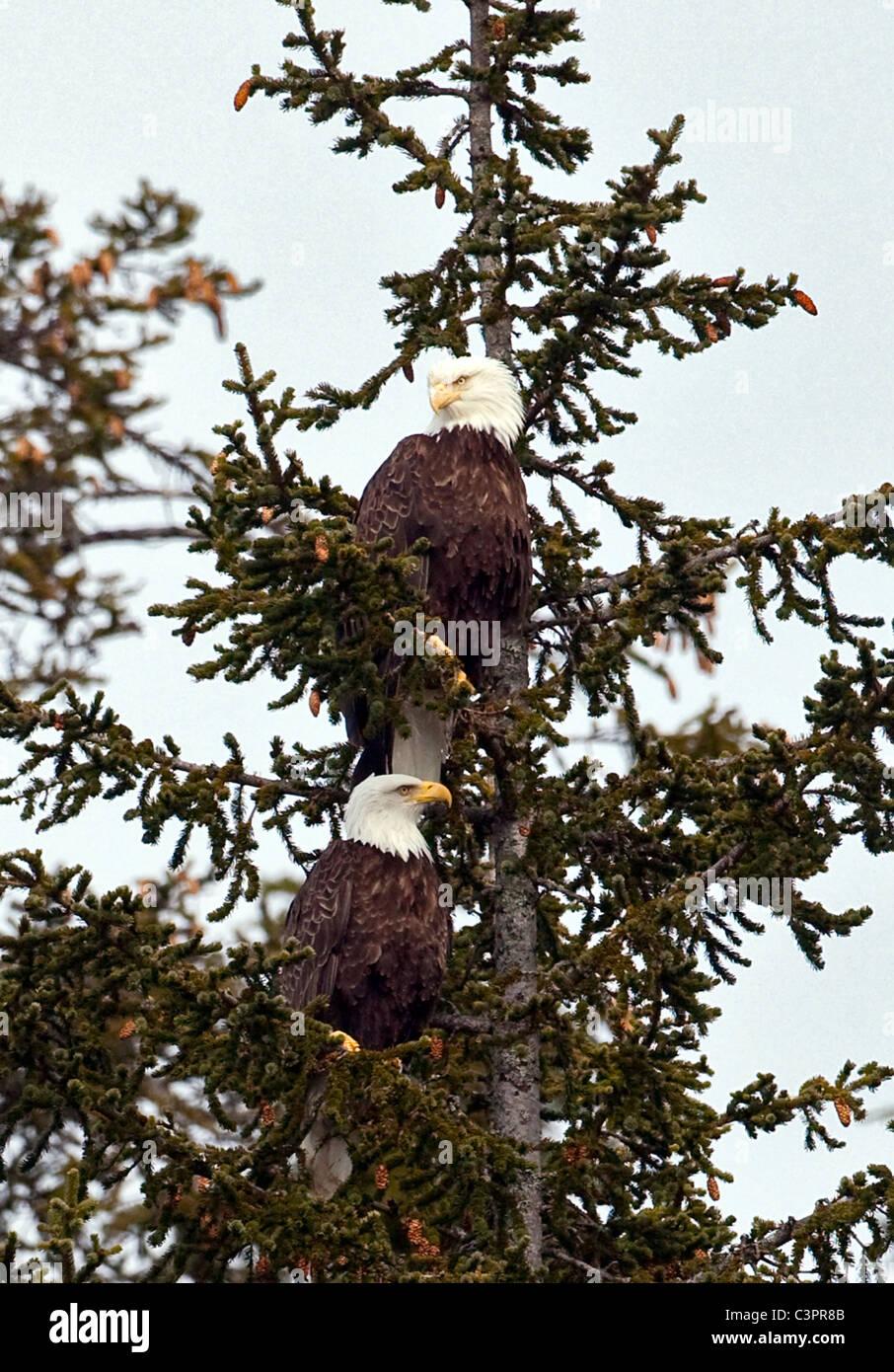 A pair of nesting bald eagles (Haliaeetus leucocephalus) perch in a tree in Alaska. - Stock Image