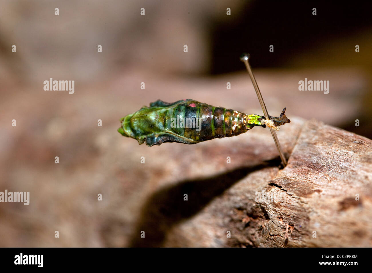 A Catonephele numilia buttefly in its chrysalis stage of development in Costa Rica. - Stock Image