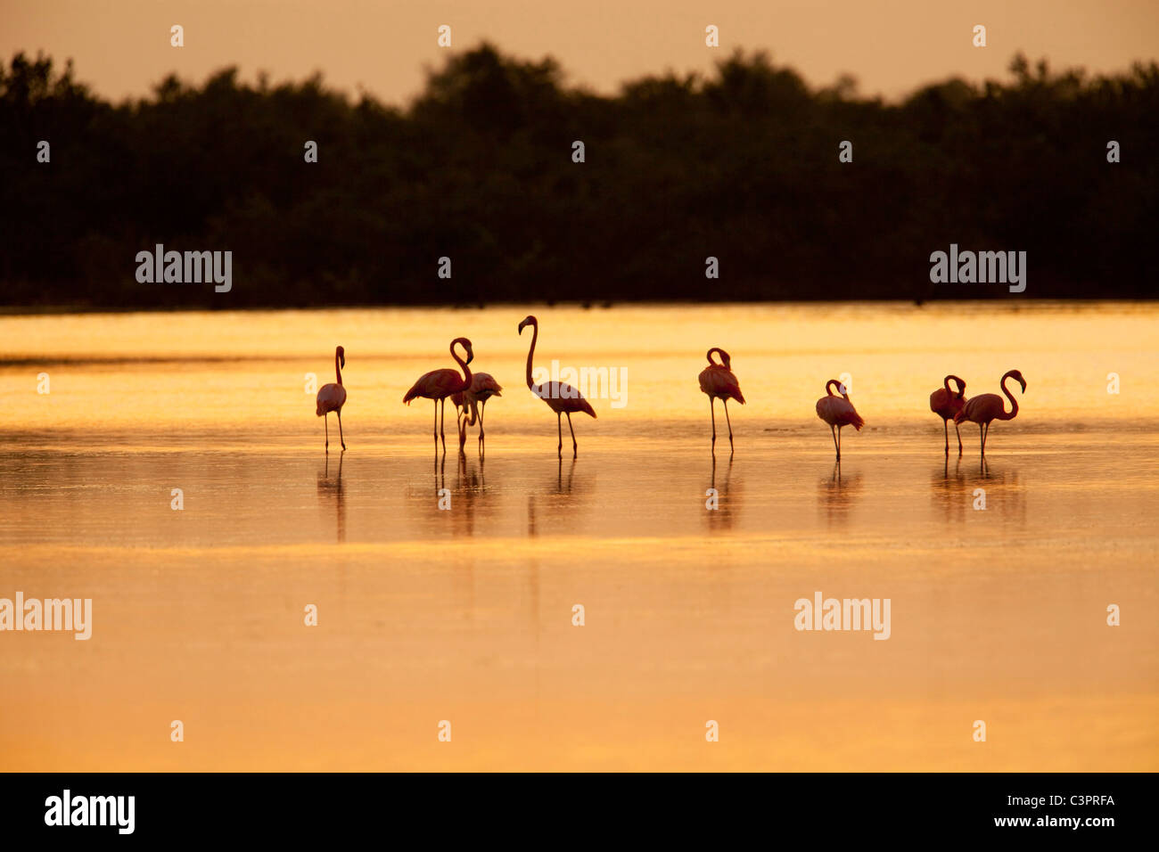 A flock of flamingoes (Phoenicopterus ruber) feed in waters near Cuba at sunset. - Stock Image